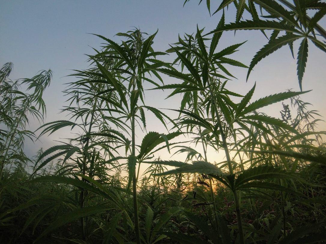 cannabisindaylight.jpg